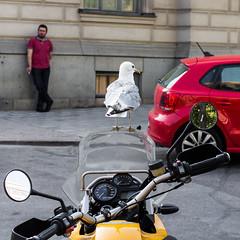 Bird Watching (Hkan Dahlstrm) Tags: bird se sweden stockholm seagull motorcycle cropped sverige f50 norrmalm 2013 stockholmsln canoneos100d sek ef40mmf28stm 31004072013163601
