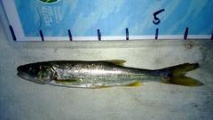 WP_20130713_003 (Cases4Cases) Tags: fish washington fishing lakewashington lakefishing catchandrelease catchrelease northernsquawfish northernpikeminnow