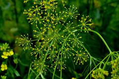 sarson da phool (m3dha) Tags: flowers india yellow farms punjab sarson
