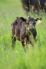 Wrong Place..... Wrong Time!! (Mr F1) Tags: cow beef calf unlucky johnfanning unluckycow