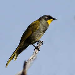 a Yellow-throated Honeyeater (Lichenostomus flavicollis), from Freycient NP, Tasmania (Chris Chafer Thanks for 1.4M views & comments) Tags: tasmania birdwatcher lichenostomusflavicollis yellowthroatedhoneyeater freycientnp
