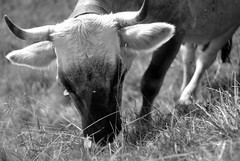 Karvite (marcoaj) Tags: portrait bw italy white mountain black monochrome look grass animal fur nose 50mm mono cow eyes legs pentax eating ears f2 kr horn trentino graze costalta marcoajelli ajelli