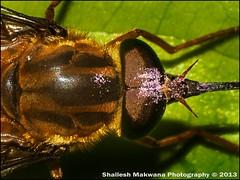 Sword Bee Closup (Shailesh_Mak) Tags: india macro insect asia sony snail maharashtra mumbai tamron macrophotography tamron70300 raynox sanjaygandhinationalpark sgnp borivali sonya100 sonyalpha100 shaileshmakwana shaileshmakwanaphotography