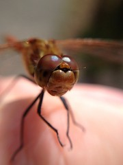 "Common Darter Dragonfly.. • <a style=""font-size:0.8em;"" href=""http://www.flickr.com/photos/57024565@N00/9682070144/"" target=""_blank"">View on Flickr</a>"