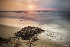 Monstruosos (Fernando Crego) Tags: seaweed beach monster sunrise playa alicante amanecer algas mostruo caboroig jocantaro sigma2470mmf28exdg seawrack orihuelacosta calacapitan calacaleta