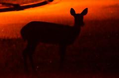 Good Morning, Deer 32/365 (Maggggie) Tags: 365 deer early morning explored