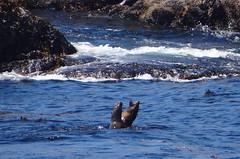 Fighting in the sea (Caroline Pujo) Tags: sea animal fight otarie oceanatlantic