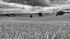 Outlook changeable.... (klythawk) Tags: nottingham trees white black nature clouds landscape grey farm wheat olympus panasonic fields greysky omd em5 1235mm dorkethead klythawk