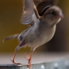 in a terrible hurry (beta karel) Tags: light bird square dof sparrow terrible hurry 2013 ©betakarel