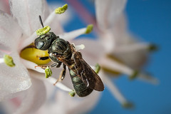 Ceratina sp. (macropoulos) Tags: topf50 500v20f bee 500v50f animalia arthropoda gettyimages carpenter hymenoptera insecta apocrita apoidea apidae xylocopinae canoneos5d canonspeedlite430ex 1500v60f 1000v40f ceratina canonmpe65mmf2815xmacro gettyimages:dateadded=20131108