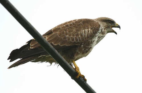 "Buzzard on wire • <a style=""font-size:0.8em;"" href=""https://www.flickr.com/photos/30837261@N07/10722424265/"" target=""_blank"">View on Flickr</a>"