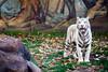 White Tiger - Raul II. (gambit03) Tags: white zoo tiger leafs blätter bengal tigris whitetiger raab weis gyor győr fehér königstiger állatkert levelek bengáli weisetiger fehértigris