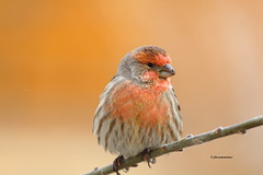 Male house finch, Carpodacus mexicanus (jlcummins - Washington State) Tags: nature birds wildlife washingtonstate housefinch carpodacusmexicanus yakimacounty yourbestanimalphoto notanotherstrictgroup bestimagesever cherishyourdreamsandvisions vision:sunset=0683 vision:outdoor=0604