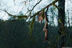 Don't Eat From This Tree! (C McCann) Tags: park canada dead death highlands bc britishcolumbia mort salmon goldstream vancouverisland spawn provincial langford westshore mourir