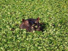Kenya (craghack) Tags: ocean africa park wedding sunset sea wild camp elephant beach animal animals monkey nationalpark buffalo honeymoon kenya tiger lion aligator safari camel leopard mara zebra cheetah giraffe hippo haller maasai mombasa governors bigfive masaimara ilobsterit