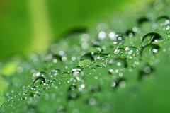 Let Them See You Shine (Lemuel Montejo) Tags: macro green nature water rain drops backyard nikon waterdrop drop droplet d600 nikond600 nikon105mmmicro