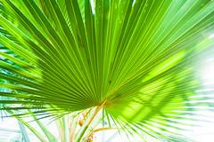 Blue(?) Latan (derekbruff) Tags: green fan meijergardens greenhouse tropical starburst bluelatan