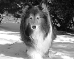 where are my toys?    5/52 (courtney065) Tags: winter bw snow dogs animals mono shelties nikond600 52weeksfordogs