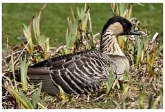 Hawaiian Goose Martin Mere  D210bob 1463 (D210bob) Tags: martin goose hawaiian mere 1463 nikond90sigma500mm d210bob
