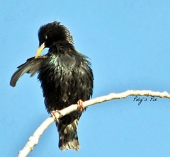Give me five (Poly's Pix) Tags: black bird feathers blackbird