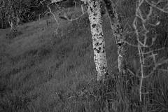 trunk, olive tree, grove, grasses, Montanare, Tuscany, Italy, Nikon D40, nikon-nikkor 55mm, 3.26.14 (steve aimone) Tags: trees blackandwhite italy monochrome grass landscape branches monochromatic hills treetrunk bark tuscany trunk lichen hillside olivegrove micronikkor55mm grays visualrhythm nikond40