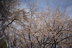 DSC03131 (Zengame) Tags: zeiss t tokyo sony 桜 sakura cherryblossoms 東京 alpha rikugien sonnar weepingcherry 六義園 alpha7 α7 ソニー しだれ桜 枝垂れ桜 ツアイス sonnart1855 ゾナー