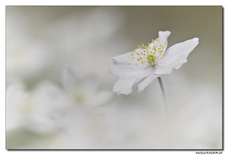 L'Anémone sylvie - Anemone nemorosa #6