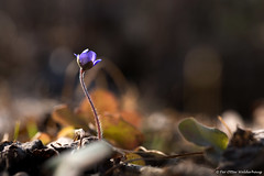First one standing. (Pewald) Tags: natureflowermacrospringbacklitdetailsdofbokeh