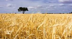 La Manchuela. Junio 2015_2 (MSB.Photography) Tags: españa planta nature field clouds landscape spain wheat sony paisaje alimento campo aire libre trigo albacete hierba nex7