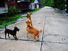 ,, Saying Good Morning ,, (Jon in Thailand) Tags: road trees dog playing nikon tail rocky ears mama jungle nikkor fangs greeting k9 d300 175528 thelittledoglaughed littlestubby abandonedabusedstreetdogs littledoglaughedstories
