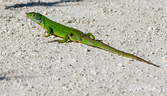DSC_3001 Green Lizard (jefflack Wildlife&Nature) Tags: france nature animal wildlife dordogne lizard lizards reptiles europeangreenlizard