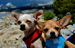 Napoleon and Thor at Courtright (Visual Artist Frank Bonilla) Tags: lake chihuahua dogs dome napoleon thor domes courtright fresnocounty courtrightreservoir