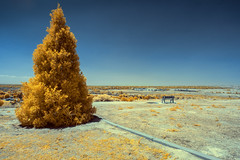 'Pine Tree', Panorama Park, California (Infrared Photography) (jc reyes) Tags: california light ir nikon invisible infrared nikkor manfrotto hoya