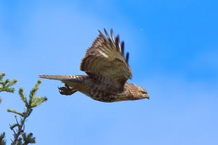 Red-tailed Hawk (Buteo jamaicensis) juvenile
