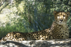 Resting Cheetah (johngoucher) Tags: approved livingdesert cheetah outdoors bigcat zoo shade eyes california palmdesert coachellavalley nature sonya6000 sonyimage animal cateye sonyalpha outdoor