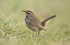 Bluethroat (J J McHale) Tags: bluethroat lusciniasvecica nature wildlife