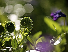 Unfolding (karen and mc) Tags: fern garden bokeh violet unfolding karenandmc