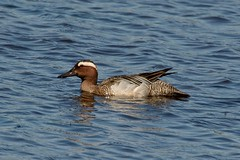 Garganey Drake. (stonefaction) Tags: nature birds scotland duck angus wildlife loch drake kirriemuir faved rspb garganey kinnordy
