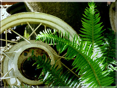 08.25.12 Wheel Spokes (MDawny72) Tags: summer plant fern green wheel washington rust spokes rusty rusted tacoma