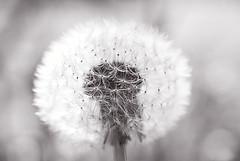 Intakt (EvasSvammel) Tags: bw dandelion monocrome svartvit intakt intatto