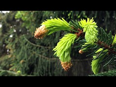 Force of life (Beat09) Tags: trees green nature spring natur gelb frhling tanne