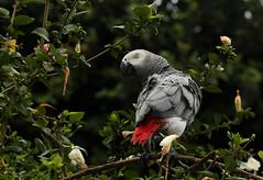 African Grey Parrot - Psittacus  erithacus (zimbart) Tags: africa birds africangreyparrot drcongo psittacuserithacus psittaciformes psittacus yangambi psittacinae cobimfo