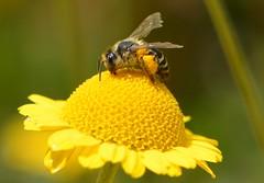 150713 (deta k) Tags: macro berlin germany deutschland flora natur pflanzen blumen bee insekten blten bienen nikond7100