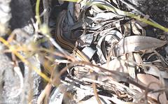 Skink Possibly Scant-striped ctenotus Ctenotus vertebralis Sandstone Scrubland (Nieminski) Tags: fauna creek flora nikon australia darwin bamboo gorge kakadu northern territory litchfield umbrawarra kambolgie