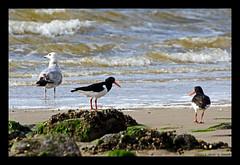 Birds (xlod) Tags: vacation bird beach nature water netherlands animal stone strand wasser gull urlaub natur wave oystercatcher mwe stein welle tier vogel niederlande julianadorp austernfischer