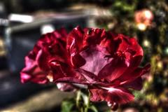 I'll paint you a photograph (DirtyBootPrints) Tags: pink flowers red roses blur flower green art texture beautiful beauty rose loving petals stem nikon paint pretty artistic bokeh vivid rosa sharp petal gift poke prick thorn aroma
