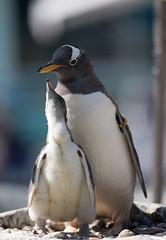More food please (Pewald) Tags: old sea bird birds animal zoo penguin young bergen begging aquaria