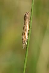 Pale-streak Grass-veneer Moth (former-extog) Tags: moth wfc bridgend aberkenfig bbcwales tondu penybontarogwr unature welshflickrcymru bbcwalesnature parcslip agriphilaselasella ©mikemccarthy
