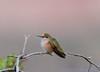 Calliope Hummingbird (Amy Hudechek Photography) Tags: monument colorado hummingbird national happyphotographer amyhudechek
