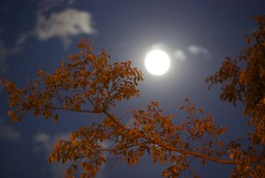 August Moon (wbaiv) Tags: dusk moon clouds tree branch orange leaves background outoffocus slightlyoutoffocus sof soof atmosphere handheld night photography noflash nikon d40x tamron 1750 f28 array aftersunset no flash nightnoflash trees plant plants vegetation